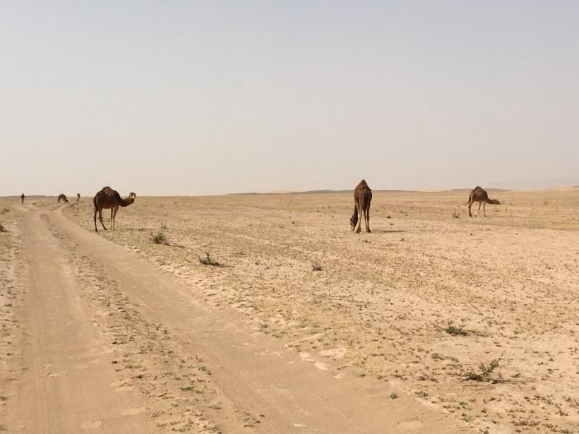 Kamele in der Sahara